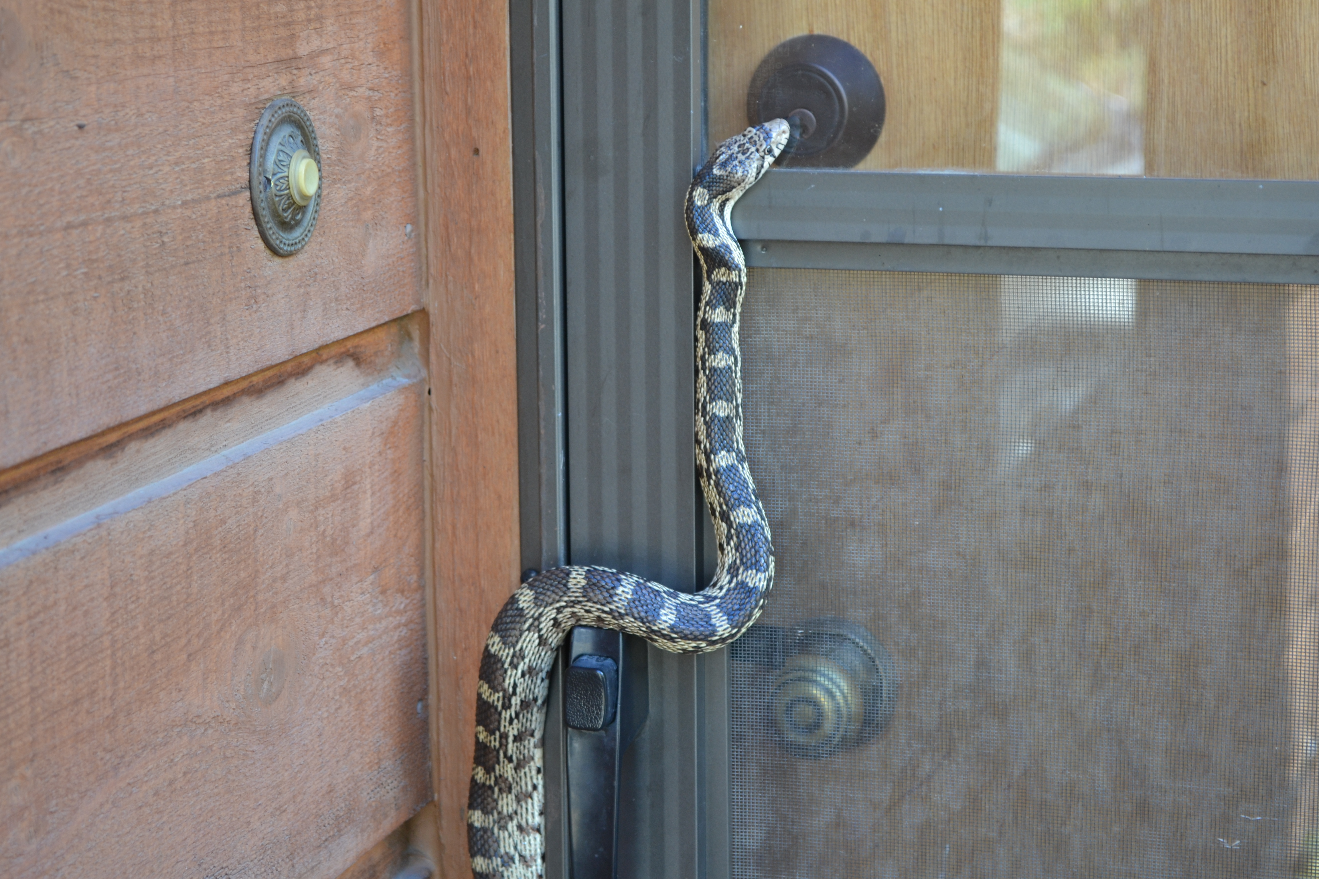 No need to worryu2026 heu0027s a Bull Snake. Though they look nearly identical to a rattle snake they do not have a rattle as you see and they are not venomous. & Welcome Home u2013 A PRAYERFUL LIFE pezcame.com